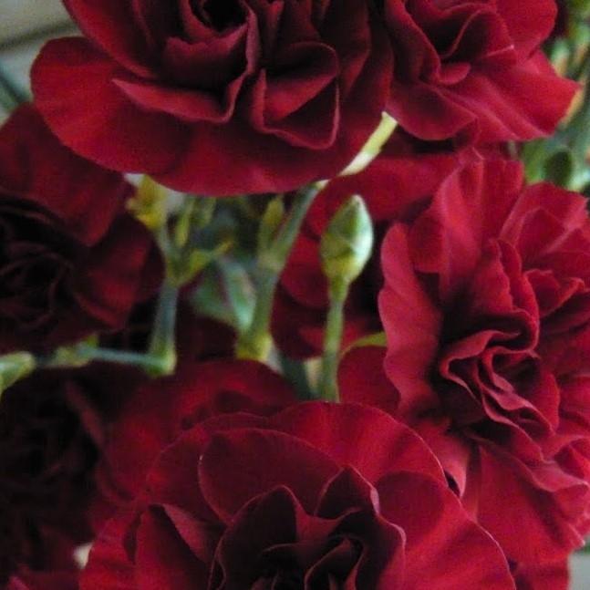wholesale carnation-mini-burgundy