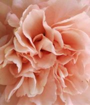 Carnations-peach