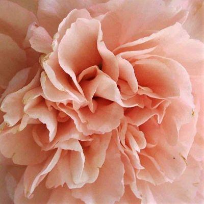 wholesale carnation peach