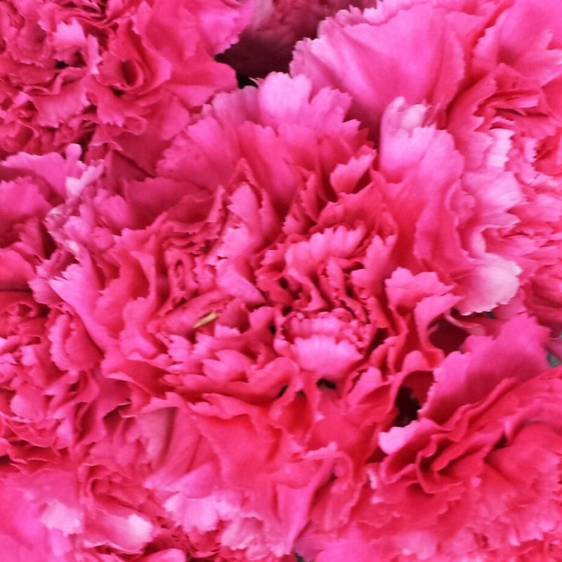 wholesale carnation -pink-hot