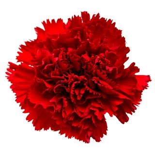 wholesale carnation red
