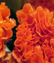 Carnations, Mini-orange