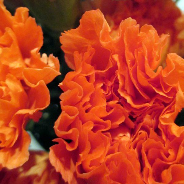 wholesale carnations-orange