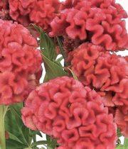 Celosia, Coxcomb-peach