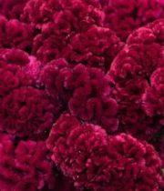 Celosia, Coxcomb-burgundy