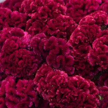 Wholesale Flowers | burgundy celosia