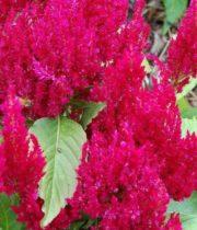 Celosia, Plumosa-red