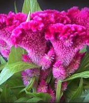 Celosia, Coxcomb-hot Pink