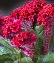 Celosia, Coxcomb-red