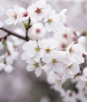 Branch, Flowering Cherry-white