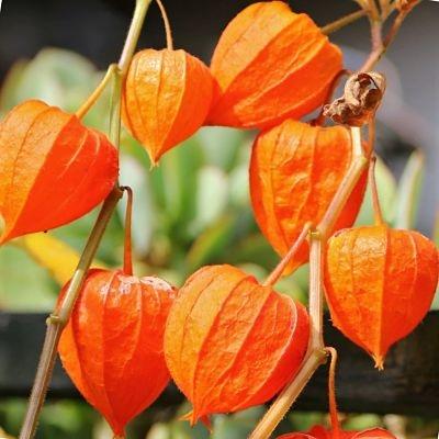 Wholesale Flowers | chinese lantern