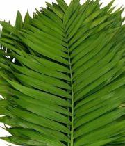Commodore Palm