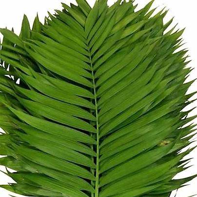 wholesale commodore-palm