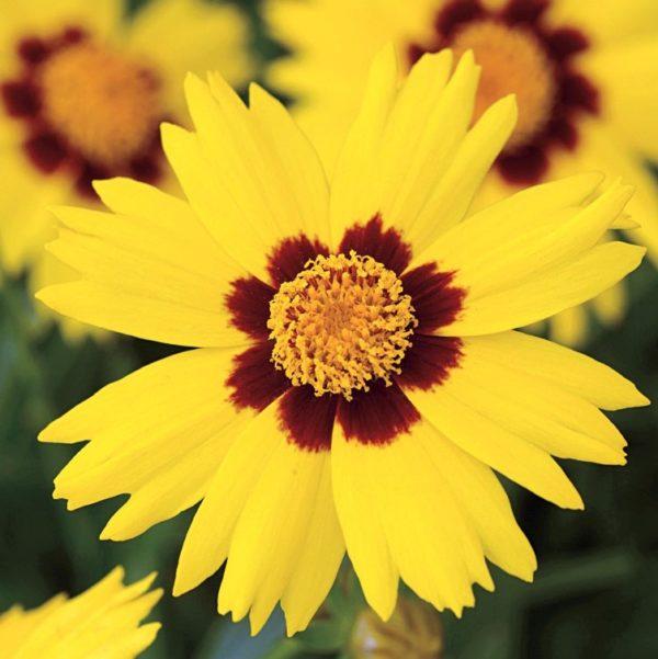 wholesale coreopsis-yellow