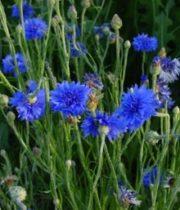 Cornflower-blue-Bachelor's Button