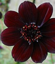 Cosmos, Chocolate-brown