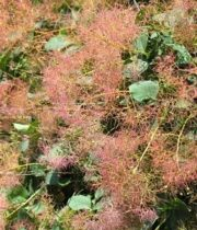 Cotinus Flower-brown