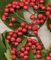 Cotoneaster-red