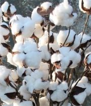 Cotton Branches-white