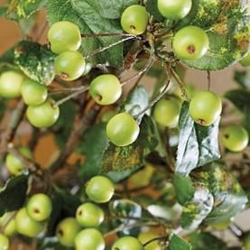 crabapple green