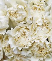 Carnations-cream