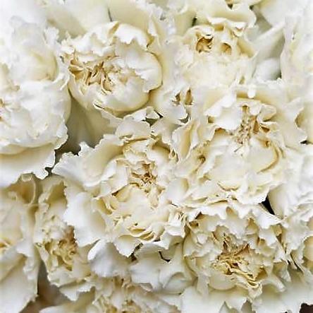 wholesale carnation cream-carnation