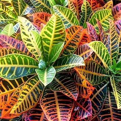 croton-leaves