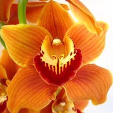wholesale flowers | orchid- c ymbidium orange