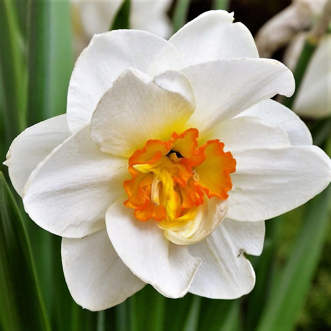 Buy Beautiful Fresh White Daffodil Flowers easily online!