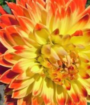 Dahlias, Field-yellow/orange