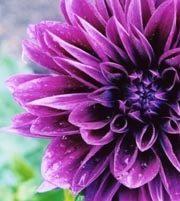 Dahlias, Field-purple