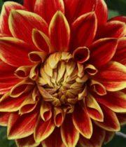Dahlias, Field-red/yellow