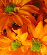 Wholesale Flowers | Spray Mums Daisy Orange