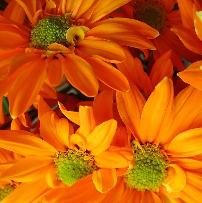 wholesale flowers   spray mums daisy orange