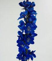 Delphinium, Hybrid-dark Blue