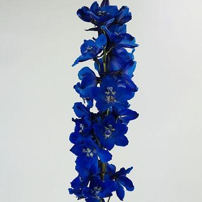 delphinium-dark-blue
