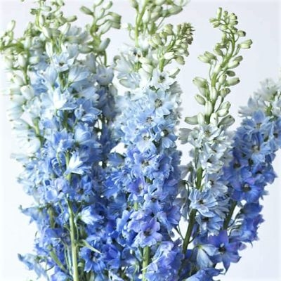 delphinium-light-blue