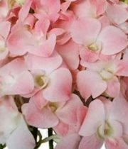 Orchid, Dendrobium-pink