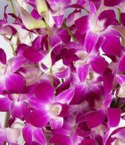 Orchid, Dendrobium-Bombay-purple/white