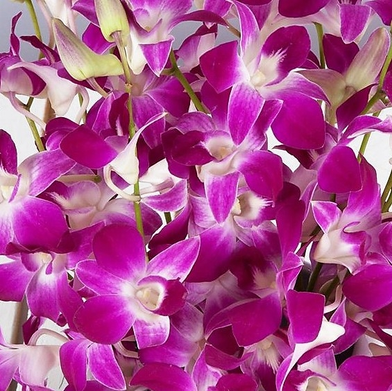 wholesale flowers | orchid- dendrobium purple