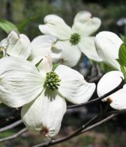 Branch, Flowering Dogwood-green