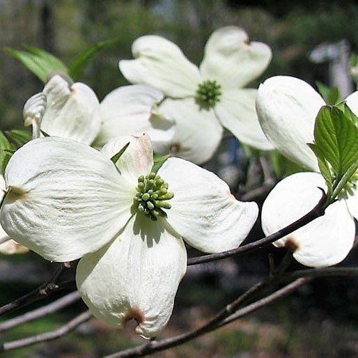 dogwood-branch-green