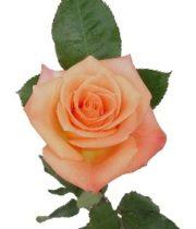 Rose, Donna-SA