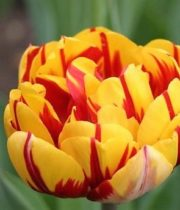 Tulips, Double-red W/yellow