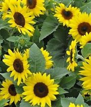Sunflowers, Mini-yellow