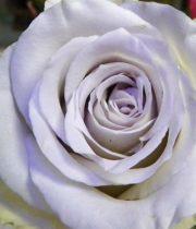 Early Grey 50cm Roses, SA