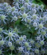 Eryngium, Raspberry-blue