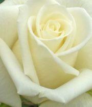 Rose Sweetheart, Escimo-CA