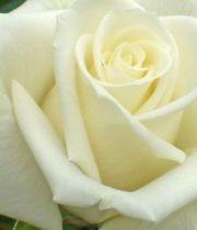 White Escimo Roses
