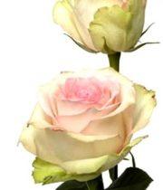 Roses Esperance
